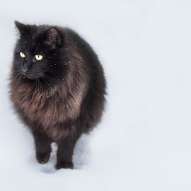 Beast of the east by Clare Gibb - Animals - Cats Portraits ( scotland, cat, pet, snow, storm )