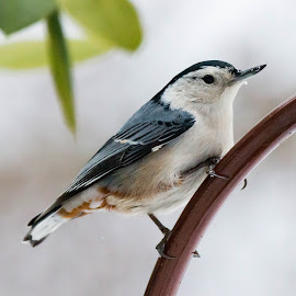 White-breasted Nuthatch by Rick Shick - Animals Birds ( bird, nuthatch )