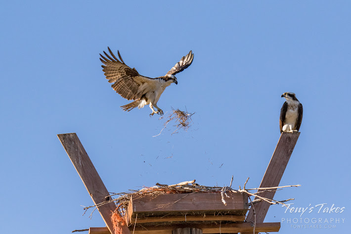 A male Osprey tosses grass toward his and his mate's nest in Longmont, Colorado. (© Tony's Takes)