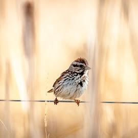Savannah Sparrow by Garnie Ross - Animals Birds ( bird, fence, nature, wire, sparrow )