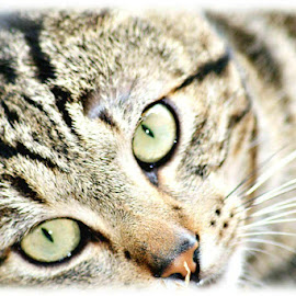 by Wanita Bierman - Animals - Cats Portraits ( cat, pet, green eyes, tabby )