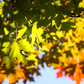 Fall by Carson Satchwell - Nature Up Close Leaves & Grasses ( tree, autumn, fall, august, leaves )