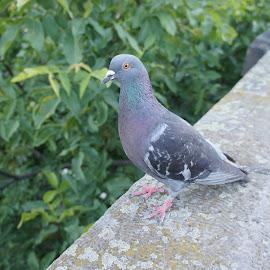 Pigeon, Prague by Luboš Zámiš - Animals Birds