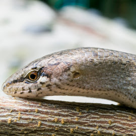 Skink by Patrixster ☠ - Animals Reptiles ( lizard, nature, macro photography, skink, nature up close, reptile, animal )