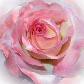 Rose by Dawn Hoehn Hagler - Flowers Single Flower ( pink flower, rose, reid park, arizona, tucson, pink, rose garden, pink rose, reid park rose garden, garden, flower,  )