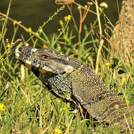 Lace Monitor by Phil Steele - Animals Reptiles
