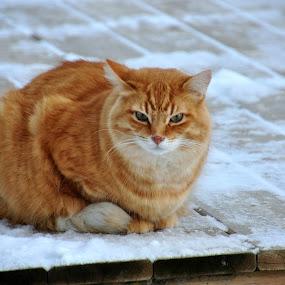 Mr. Pumpkin  by Debbie Johnson MacArthur - Animals - Cats Portraits