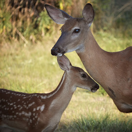 Whitetails by Mill Tal - Animals Other Mammals