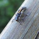 Ladybug larvea