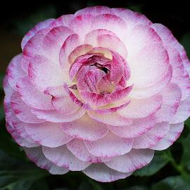 Ranunculus by Millieanne T - Flowers Single Flower