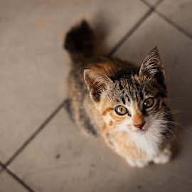 Kitten I by Abdul Karim - Animals - Cats Kittens ( cats,  )