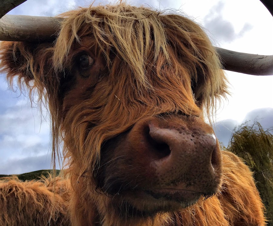 Scottish Highland  by Angela Taya - Novices Only Wildlife (  )