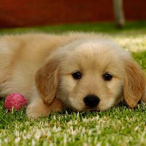 Robin by Cristobal Garciaferro Rubio - Animals - Dogs Puppies ( puppies, lovely, dog, cute, golden, golden retriever )