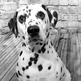 by Nancy Tonkin - Animals - Dogs Portraits