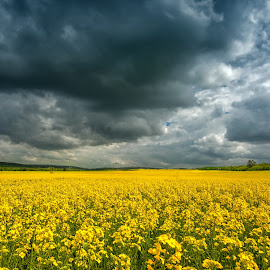 Field before storm by Evgeni Ivanov - Landscapes Prairies, Meadows & Fields ( plant, copy space, yellow, beauty, dramatic sky, storm, landscape, blossom, crop, sky, nature, weather, flower, horizon over land, canola, oilseed rape, agriculture, cloudscape, horizon, scenic, overcast, heavy, landscaped, field, blue, horizontal, background, moody sky, selective focus, summer, cloud, day )