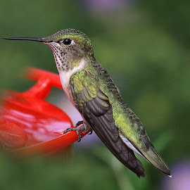 Sitting Pretty by April Nowling - Animals Birds ( bird, nature, hummingbird, wildlife, santa fe, new mexico, hummer )