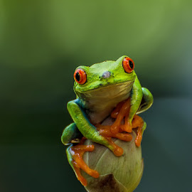 red eye by Dikky Oesin - Animals Amphibians