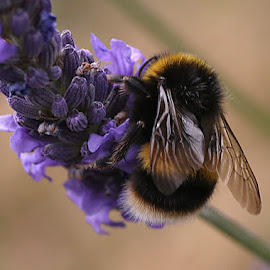 Bumblebee on Lavender by Chrissie Barrow - Animals Insects & Spiders ( plant, orange, white tailed, purple, bumblebee, white, stripes, insect, lavender, bokeh, macro, wings, garden, black, closeup, animal )
