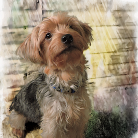 Strike a pose by Melissa Davis - Digital Art Animals ( yorkie, yorkshire terrier, digital art, missysphotography, puppy )