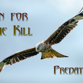 Predators by Stephen Crawford - Typography Captioned Photos ( text, wingspan, diagonal, red kite, typography, in flight, bif,  )
