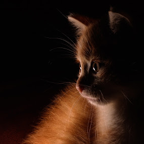 Boudin by Serge Thonon - Animals - Cats Portraits ( low key, serge, clair obscure, thonon, chat )