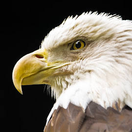 Proud Eagle by A Winston - Novices Only Wildlife ( predator, eagle, beak, feathers, eagles )