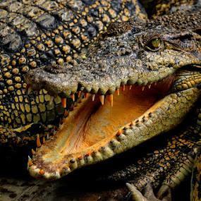 Buaya (Crocodille) by Taufiqurrahman Setiawan - Animals Reptiles