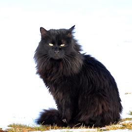 Black by Silviu Tanasescu - Animals - Cats Portraits