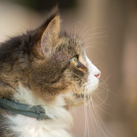 Ronnie outdoors by Annette Flottwell - Animals - Cats Portraits ( fluffy, tomcat, furry, maine coon, ronnie,  )