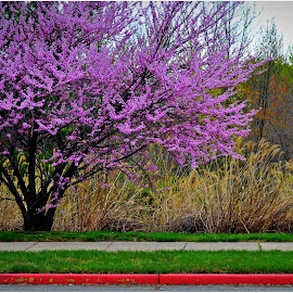Cherry Tree Baltimore by Denny Paul - Nature Up Close Trees & Bushes ( curside, color, baltimore, maryland, trees, sidewalk )