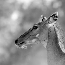 by Sanjeev Goyal - Animals Other Mammals ( nikon d 750, bull, nikon, mammal, portrait )