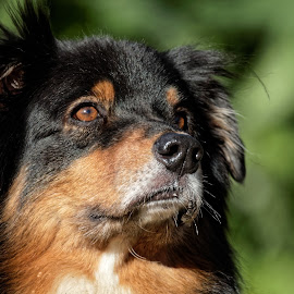 Dog 904 by Raphael RaCcoon - Animals - Dogs Portraits ( dog )