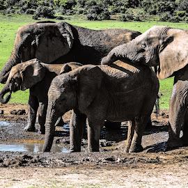 Elephants by Pieter Langenhoven - Animals Other