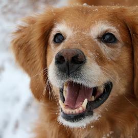Snow Day! by Kari Schoen - Animals - Dogs Portraits ( canine, snowday, snow day, dog, portrait, golden retriever )
