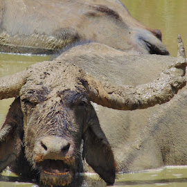 Water Buffalo by Prabasha Rasaputra - Novices Only Wildlife
