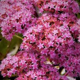 Pink Flowers  by Lavonne Ripley - Flowers Flower Gardens