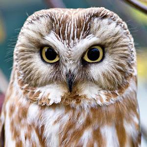 owl cr.jpg