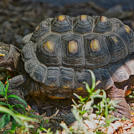 by Jim Jones - Animals Reptiles ( turtle, reptiles, animal, animals, reptile )