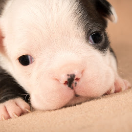 by Dave Martin - Animals - Dogs Puppies