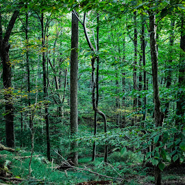 by Kimberly Sharp - Landscapes Forests ( green on green, novice, cunningham falls, green, trees, maryland, forest )