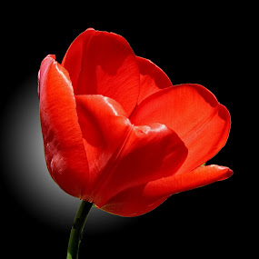 MGI tulip 05 by Michael Moore - Flowers Single Flower (  )