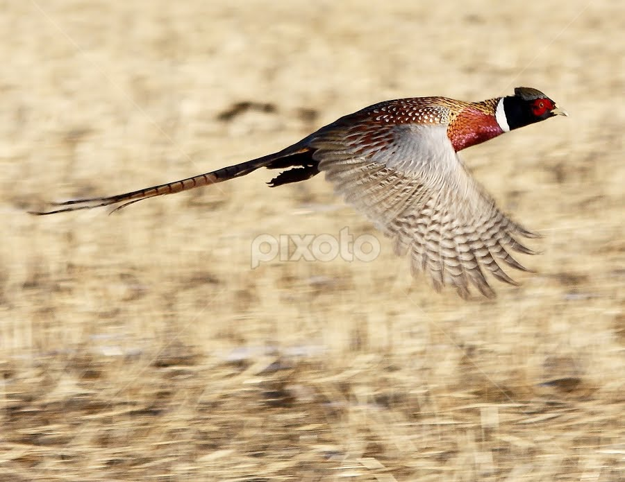 Ringneck In Flight by Brian Robinson - Animals Birds (  )