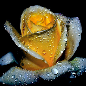 beautiful rose by Anand Kumar - Nature Up Close Flowers - 2011-2013 ( rose, petals, dew, drops, close up, flower )