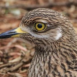 Dikkop by Dirk Luus - Animals Birds ( bird, animals, dikkop, nature, yellow )