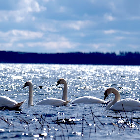 Swans by Alf Winnaess - Uncategorized All Uncategorized