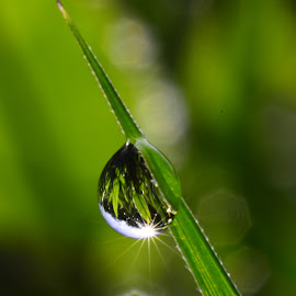 Dew at cungex grass by Muhamad Lazim - Nature Up Close Natural Waterdrops ( water, macro, nature, grass, dew )