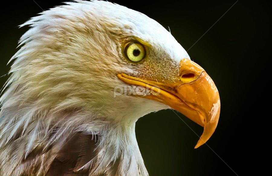 Royal Look by Sushmita Sadhukhan - Animals Birds ( milwuakee zoo, birds portrait, bald eagle, pwctaggedbirds, looking around, bird show )