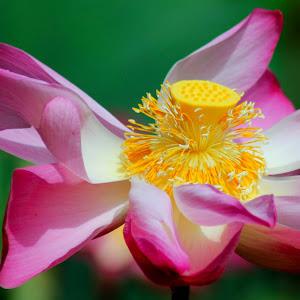 Lotus #66.jpg
