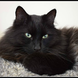 Ozzie by Elaine Maskell - Novices Only Pets ( cat, fluffy, prince of darkness, green eyes, feline )