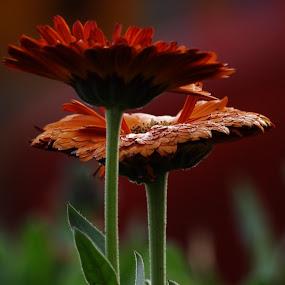 duet by Nani Garu - Nature Up Close Flowers - 2011-2013 ( love, red, duet, flowers )